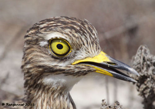 Spotted Thick-knee (Burhinus capensisis)  Click on the photo to see more gorgeous photos by Redgannet and then click through to see what else he encountered during one of his many trips to Cape Town!