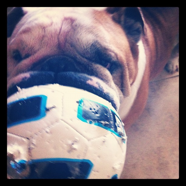 Kongo killing the soccer ball #futbol #soccer #football #bulldog #cute 🐶⚽ (Taken with instagram)