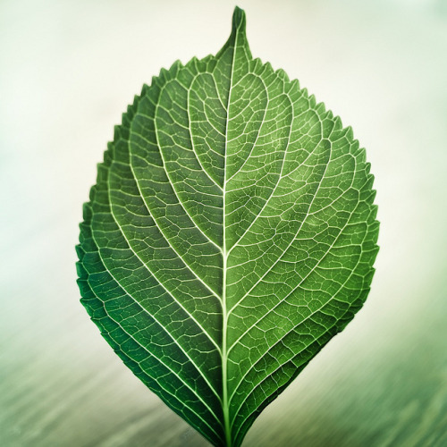 Via Flickr: Leaf Texture