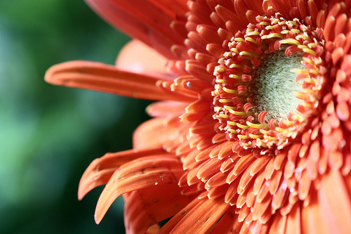 Center of Gerbera (by clickMYworld)