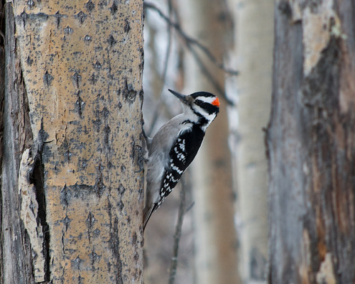 Male Downy Woodpecker on Flickr.