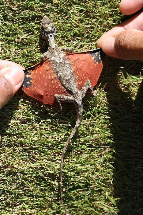 A tiny dragon discovered in Indonesia. She was found laying eggs in a nest in the Lambusango Forest reserve.