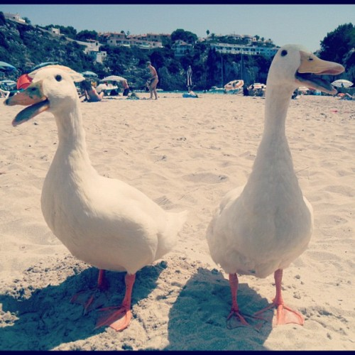 hgkw:  invasion of the ducks #spain #beach #holiday #ducks #sea #blue #posers (Taken with instagram)