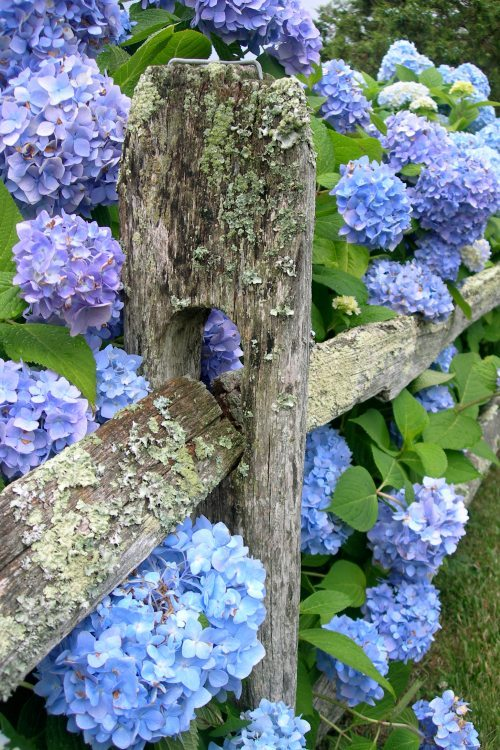 Good Saturday morning! (I wish I had hydrangea like these. Maybe some day.)