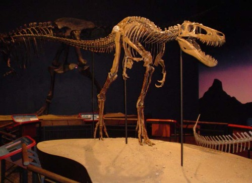 "crownedrose:   Jane, a juvenile T. rex on display at the Burpee Museum  First thought to be a skeleton of Nanotyrannus, ""Jane"" has been looked over thoroughly by many well known palaeontologists since her discovery back in 2001. It has been concluded that ""Jane"" is actually a juvenile Tyrannosaurus rex. There is still much research and debate to whether or not Nanotyrannus is a valid genus."