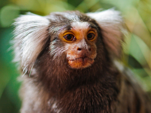 Marmoset by Tambako