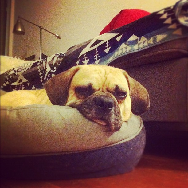 Mutt of the Month - March Name: Fuji Breed: Puggle. Skillz: Playing dead. Fav Food: Table scraps. Dreams of: Successfully catching the famous Trinity Bellwoods white squirrel!