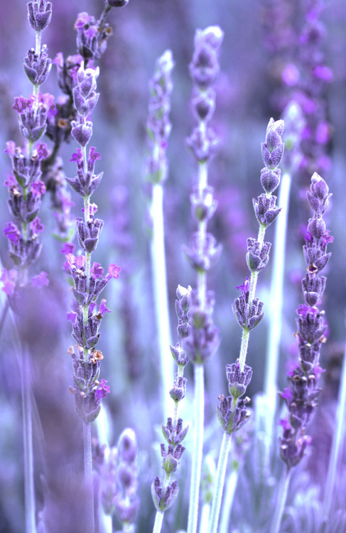 Lavender by *emerald753