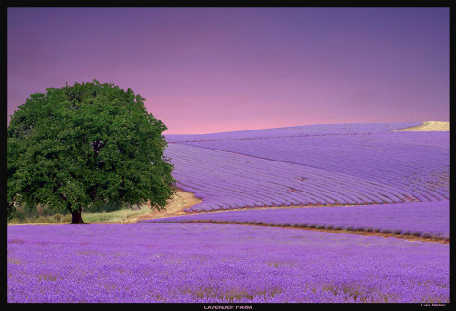 Lavender Farm 2 by ~gearbox