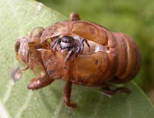 penanggalan:  entomophilia:  Jumping spider making its home in a cicada shell  UUUUGH<3  BAAAABIIIIIEEESS
