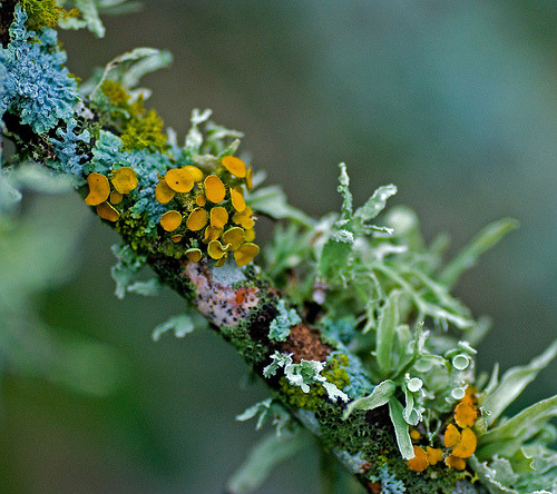 rhamphotheca:  Lichens on a dead twig in my yard in Austin. We have had a lot of rain and the lichen fruiting bodies have sprouted. (photo/text: Jim McCulloch | Flickr)
