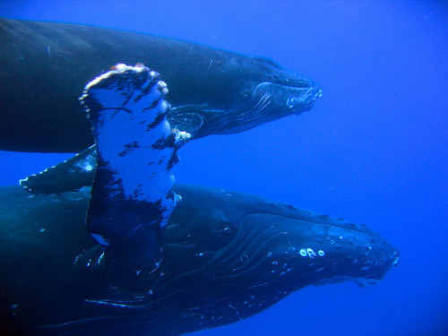 theoceaniswonderful:  Humpback Whale Cow and Calf by bluewavechris