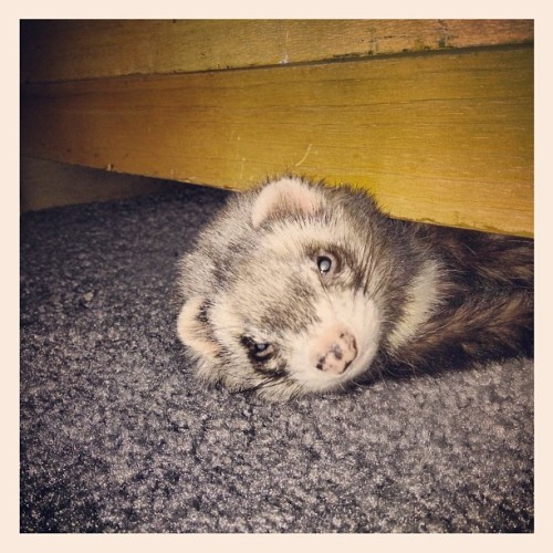Taco why are you under the dresser? #ferret #petstagram #ferretstagram #taco (Taken with instagram)