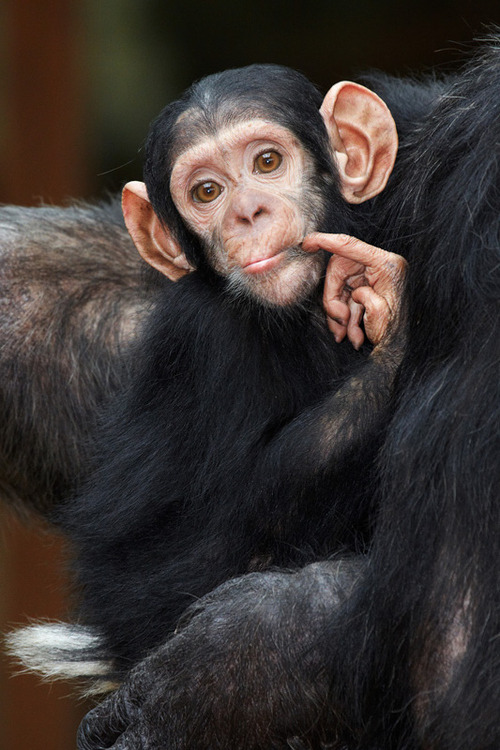 "discoverynews:  ""One meeeeelllion dolllaars!"" earth-song:  ""Baby chimp"" by Florence Perroux"