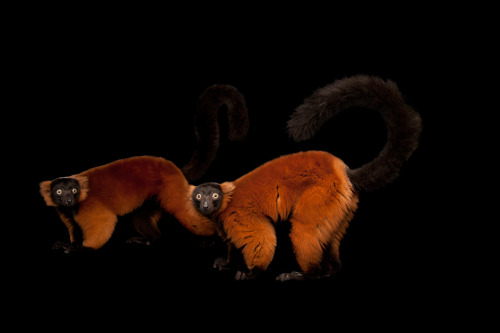 "funkysafari:  Red ruffed lemurs (Varecia variegata rubra) by Joel Sartore  ""we didn't do nuffin'"""