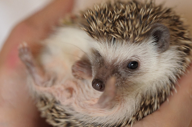 hedgehogsss:  Oscar the Hedgehog-2 by ghinson on Flickr.