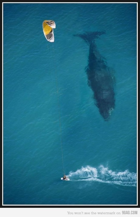 Kite surfing next to a whale