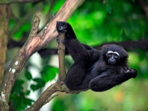 Gibbon m-ammals:  Gibbon Gibbons are the animals we think of when we picture primates swinging gracefully through the rain forest. These acrobatic mammals, endemic to the dense forests of southern Asia, are perfectly adapted to life in the trees and rarely descend to the ground. They have strong, hook-shaped hands for grasping branches, comically outsize arms for reaching faraway limbs, and long, powerful legs for propelling and gasping. Their shoulder joints are even specially adapted to allow greater range of motion when swinging. Their dramatic form of locomotion, called brachiating, can move gibbons through the jungle at up to 35 miles (56 kilometers) an hour, bridging gaps as wide as 50 feet (15 meters) with a single swinging leap. Brachiating also gives gibbons the unique advantage of being able to swing out and grab fruits growing at the end of branches, which limits competition for their favorite foods. When gibbons walk, whether along branches or in the rare instances when they descend to the ground, they often do so on two feet, throwing their arms above their head for balance. They are the most bipedal of all non-human primates and are often studied for clues to what evolutionary pressures may have led to human walking. There are 15 recognized species of gibbons ranging from northeastern India to southern China to Borneo. They are all tailless, and their long coats vary from cream to brown to black. Many have white markings on their faces, hands, and feet. The largest species are known as siamangs, and can grow to 29 pounds (13 kilograms). Smaller species reach only about nine pounds (four kilograms). Gibbons thrive on the abundant fruit trees in their tropical range, and are especially fond of figs. They will occasionally supplement their diet with leaves and insects. Gibbons are monogamous (a rare trait among primates) and live in family groups consisting of an adult pair and their young offspring. The family will stake out a territory and defend it using loud, haunting calls that can echo for miles throughout the forest. Mated pairs, and even whole families, will sing long, complex songs together. Some species have even adapted large throat pouches to amplify their calls. These iconic tree dwellers are among the most threatened primates on Earth. Their habitat is disappearing at a rapid rate, and they are often captured and sold as pets or killed for use in traditional medicines. All but one species of gibbon is listed as endangered or critically endangered. Source