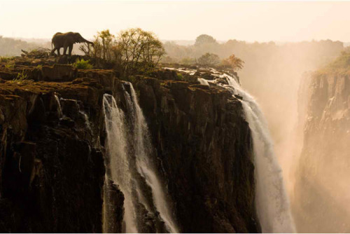 Bull elephant Zambia A lone bull elephant breakfasts at first light near the  precipice of Victoria Falls. With the Zambezi River near its seasonal  ebb, once submerged walkways—and fresh foraging possibilities—present  themselves. (Marsel van Oosten)