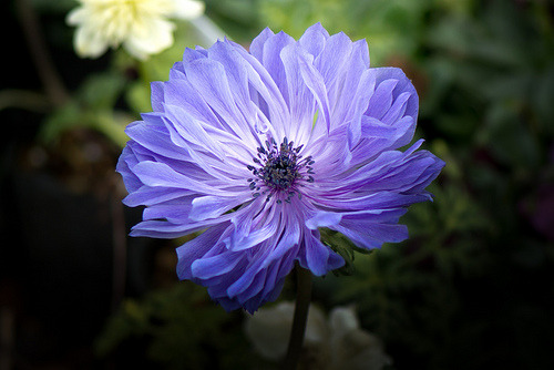 prettylittleflower:  Anemone (by shinichiro*)