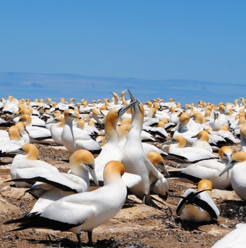 Gannet Colony in Cape Kidnappers