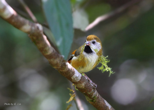 animals-animals-animals:  Golden Parrotbill (by Hiyashi Haka)