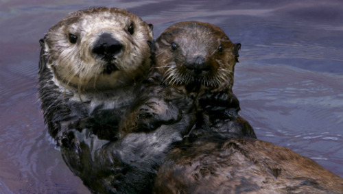 Famous sea otter dies, legacy lives onToola raised 13 orphaned pups and helped inspire a state law benefiting her species, all while she endured a debilitating brain disease.
