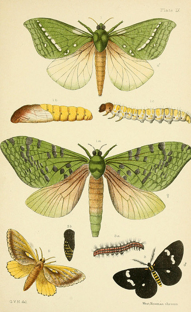 dendroica:  Plate IX: Moths by BioDivLibrary on Flickr. An elementary manual of New Zealand entomology;. London,West, Newman & Co.,1892..biodiversitylibrary.org/page/8547647