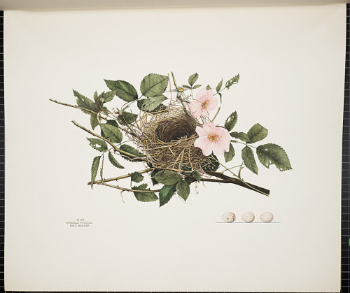 Nest of a field sparrow (spizella pusilla) from the Illustrations of the Nests and Eggs of Birds of Ohio.   The illustration was made from a nest taken June 3rd, 1879, in a wild rose-bush. It fairly represents the usual size, materials, and position. The foundation consists of weed-stalks and a few straws; the superstructure of finer weed-stems, fibres, and split grasses; the lining of horse-hair and roller-grass. The eggs figured show the usual sizes, shades of ground-color, and markings.  This remarkable and now rare volume was produced largely by women and authored by Genevieve Jones, an amateur naturalist and illustrator.