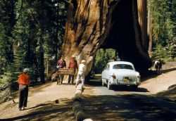 """Cut in 1881 for horse-drawn stagecoaches, the Wawona Tree tunnel has been pictured in schoolbooks for three generations. This giant sequoia continues to grow despite its enormous cavity."" —National Geographic magazine, June 1954 The tree stopped growing 15 years later"