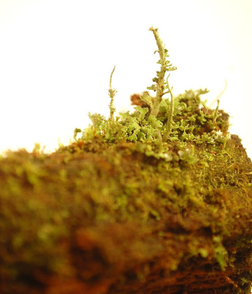 more tiny lichen. the storms this past few months knocked tons of old, established lichens down from the trees and such. the amount of living debris here is fairly epic. Walking along in any patch of my woods there will be hundreds of bits of lichen that once lived up top, now thrown down to the ground. A lot of it will die there- but some of it I have gathered and put in my wardian cases, and sell as specimens…  I love lichen and liverworts and mold and moss. I know that the storm debris will all go back to the soil; but if I can salvage a few bundles of these guys for others to enjoy (terrariums, or just dried specimens) that'd be awesome too.