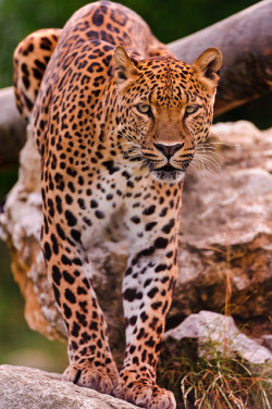 Leopard on the rocks by Tambako the Jaguar