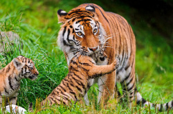 Elena grabbing a cub by Tambako the Jaguar
