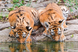 The two girls drinking at the pond by Tambako the Jaguar on Flickr.