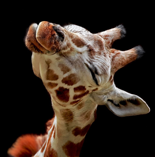 if this doesn't increase your love for giraffes, we can't be friends…