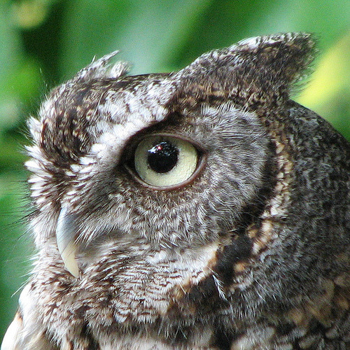 Eastern Screech Owl (by Vicki's Nature)