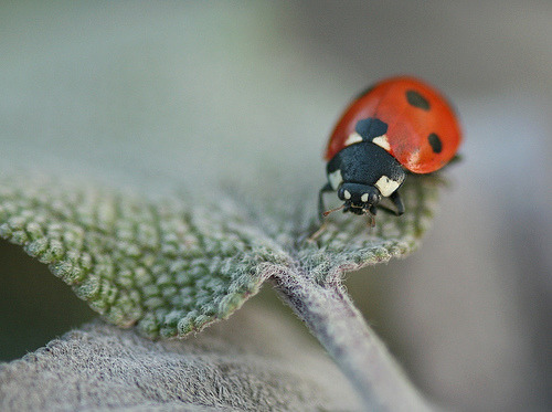 Ladybird on sage leaf (by nutmeg66)