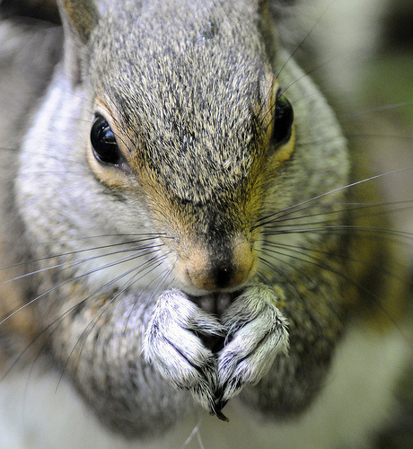 Grey Squirrel : Chapel-en-le Frith, Derbyshire (by RayMorris1)
