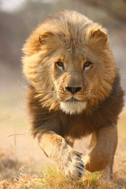strix-varia:  Lion by safari-partners on Flickr.
