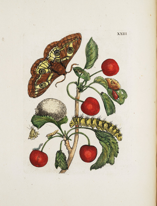 "smithsonianlibraries:  Illustration of insects and flowers, from Maria Sibylla Merian's Raupen wunderbare Verwandelung und sonderbare Blumennahrung (1730) ( ""Caterpillars, Their Wondrous Transformation and Peculiar Nourishment from Flowers"" ) this image is from a later translated edition of Merian's original, which was published in 1679. The Getty has an excellent online exhibition of some of her other work."