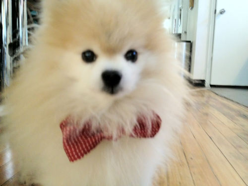meevees:  purapea:  meevees:  purapea:  tommypom:  Tommy prepares for his meetings by sporting his favorite bow tie.  JDKFNJKNGJNGD THIS POM IS CALLED TOMMY I CANT  I AM NOW WAITING FOR YOU TO DRAW TOMMY AS A POMERANIAN, PURA  PUPPY AVENGERS FUCKKK WHY WOULD YOU though tommy would be a greyhound probs.  /ENABLES 5EVER ahhh you're right that is a better fit! And Eli would be a Boxer maybe?? Idk about everybody else  jgfdnkh I'm in the process of doodling them up now…  Kate is a Belgian Shepherd Dog, Tommy is a Whippet (Pietro is a Greyhound dfjknh), Cassie is a American Eskimo Dog, Teddy is a Yellow Labrador mutt mix, Billy is a Corgi/Border Collie Mix, and Eli is a Doberman. Jonas is some sort of android dog BUT I HAVENT DECIDED WHAT YET…