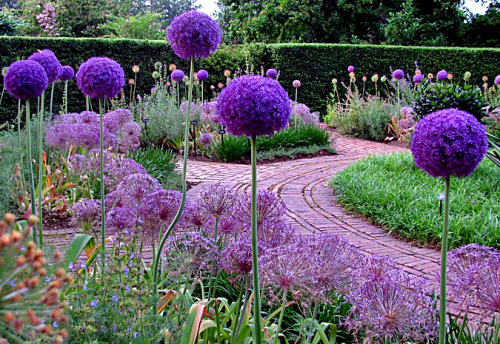 Love Allium!  My daughter saw this photo and compared it to The Lorax…what are you most excited for in your spring/summer garden?  photo from Michael Weishan
