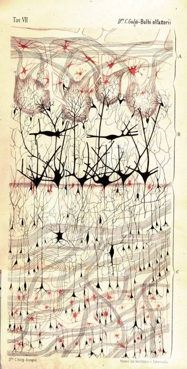 "Olfactory bulb image by Camillo Golgi, 1875  In 1875 the physician Camillo Golgi invented the reazione nera (black reaction) cell-staining technique, which allowed anatomists to view individual neurons in their entirety for the first time. Potassium dichromate and silver nitrate are added to preserved nervous tissue, and the neurons become visible as tiny silver chromate crystals form inside the cells. Golgi used the technique to make detailed neuronal maps, such as this drawing of a dog's olfactory bulb, made in the year he discovered the reaction. The technique became widely known as ""Golgi's method"" and marks the beginning of modern neuroscience.  Click here to see other images from the book Portraits of the Mind by Carl Schoonover"