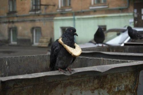 Pigeon Wearing Bread   Look at that piece of bread and tell me he ain't fed.