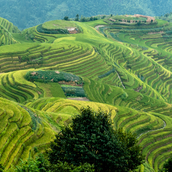 Contoured fields, Dragon's Backbone rice terraces. Ping'an, China.