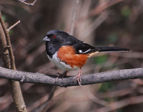Title: Male Eastern Towhee in a pose for me - High Point North Carolina