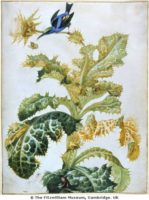 Watercolor: Blue Honeycreeper, Thistle, Snails. Maria Sibylla Mer­ian (1647–1717).