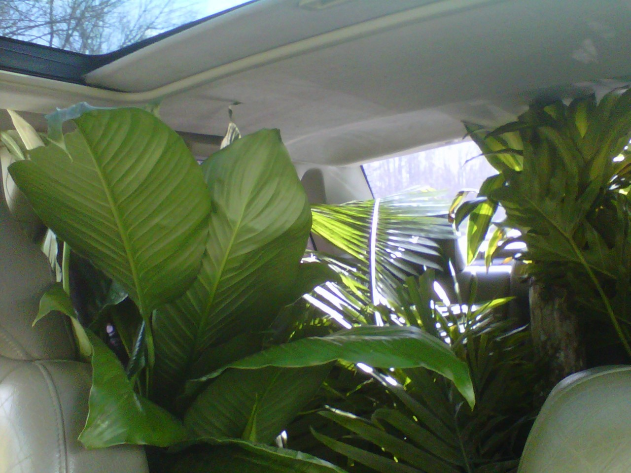 some floor plants in the back of my '98 Volvo S70, taken with my BlackBerry Curve in April 2012 http://www.jessicahans.com