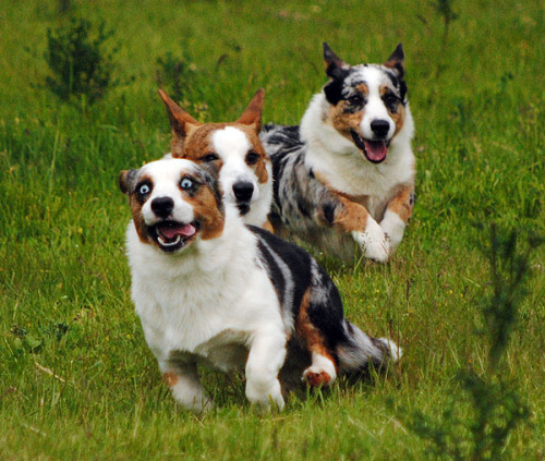 Cardigan Corgi races! Go, Simon, go! (Chased by his friends Caleb and Bella!)