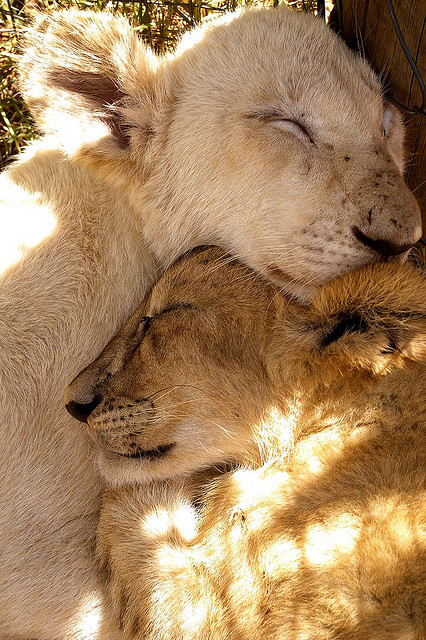 tigersandcompany:  Lion cubs (by t.putter)